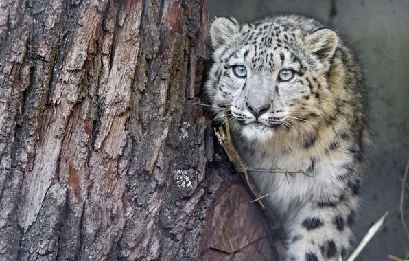 Picture cat, look, tree, IRBIS, snow leopard, cub, kitty, ©Tambako The Jaguar
