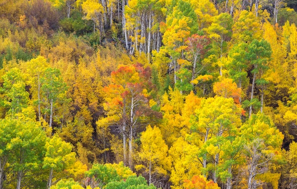 Picture autumn, forest, leaves, trees, paint, slope, grove, aspen