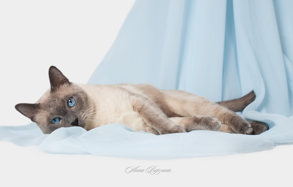 Picture cat, eyes, cat, blue eyes, grey background, Thai cat, the Thai cat