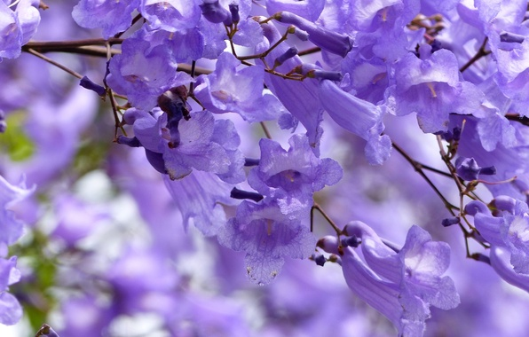 Picture tree, lilac, exotic