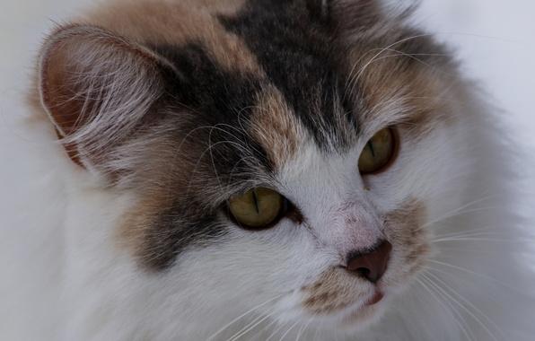 Picture cat, portrait, muzzle