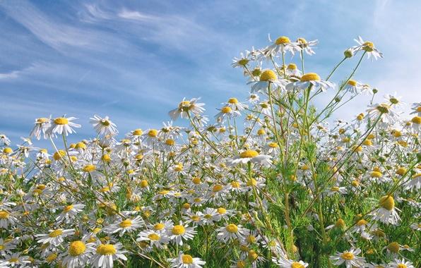 Picture field, the sky, clouds, nature, petals, Daisy, meadow