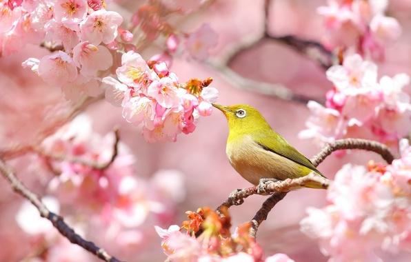 Picture bird, spring, Sakura, white-eyed