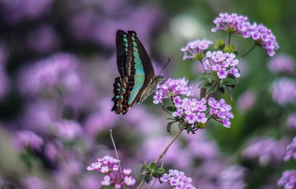 Wallpaper flowers macro wings lilac blur butterfly for Lilac butterfly wallpaper