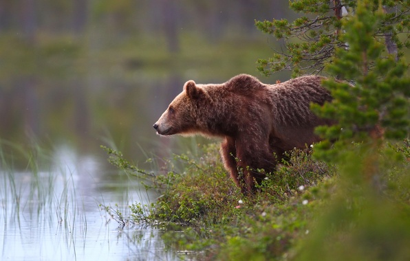 Picture forest, water, bear, the Bruins