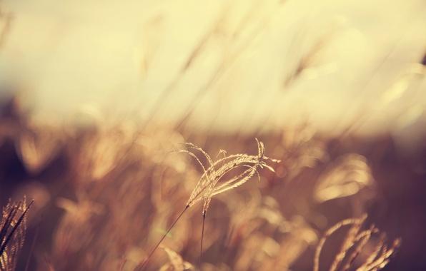 Picture field, spikelets, bokeh