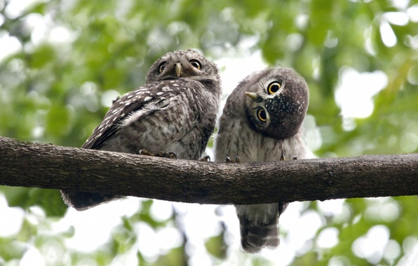Picture eyes, birds, branch, owls