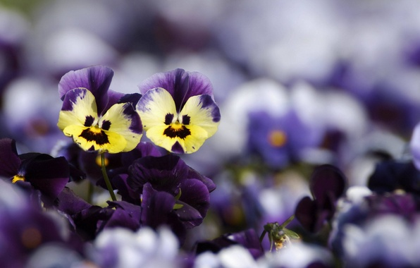 Picture flowers, yellow, blur, purple, Pansy