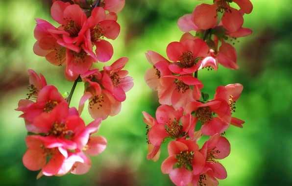 Picture macro, branches, flowering, flowers, japonica