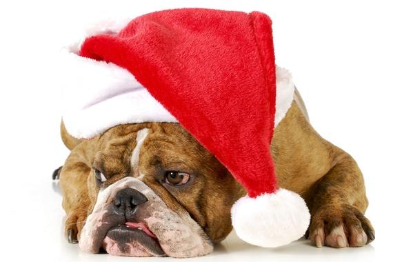 Picture dog, cap, English bulldog