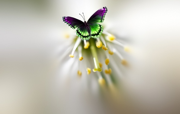 Picture flower, butterfly, beautiful, motley, Josep Sumalla
