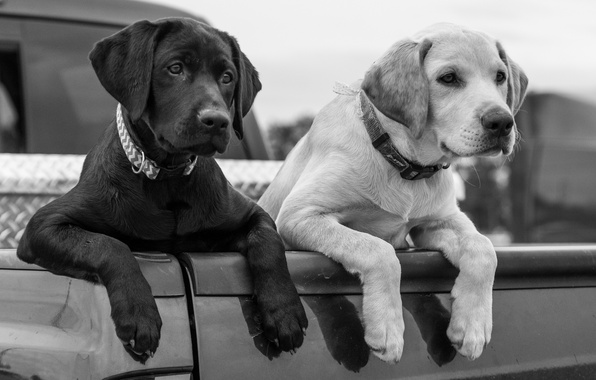 Picture dogs, paws, puppies, black and white, body, Labrador Retriever