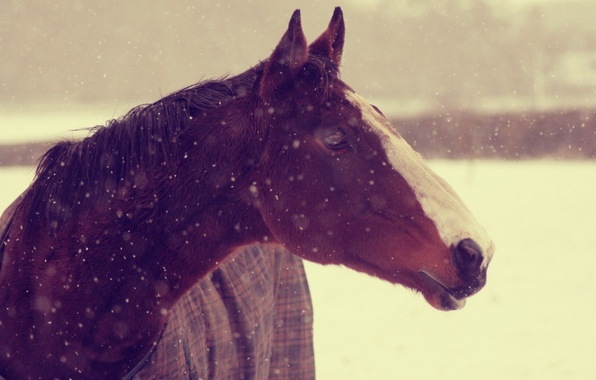 Picture winter, animals, face, snow, background, horse, Wallpaper, horse