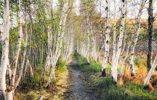 Picture autumn, birch, grove