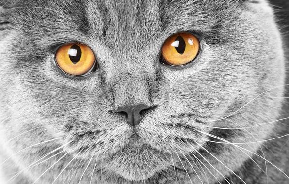 Picture cat, eyes, cat, face, grey, yellow, cat, British, British