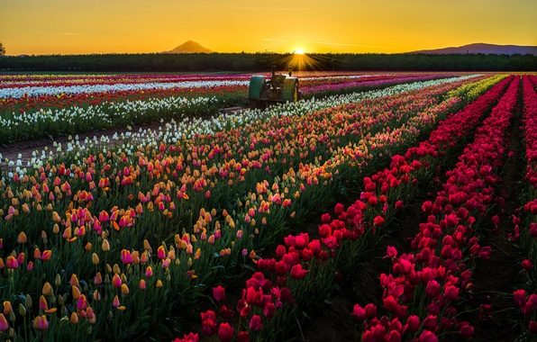 Picture field, the sun, sunset, flowers, nature, tractor, tulips, USA