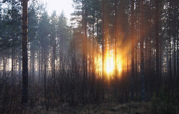 Picture forest, the sun, rays, trees, dawn, morning