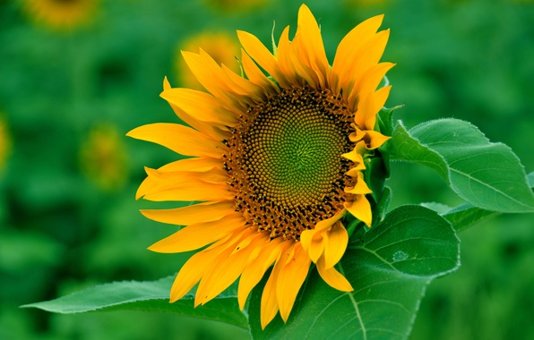 Picture field, flower, leaves, sunflower, petals