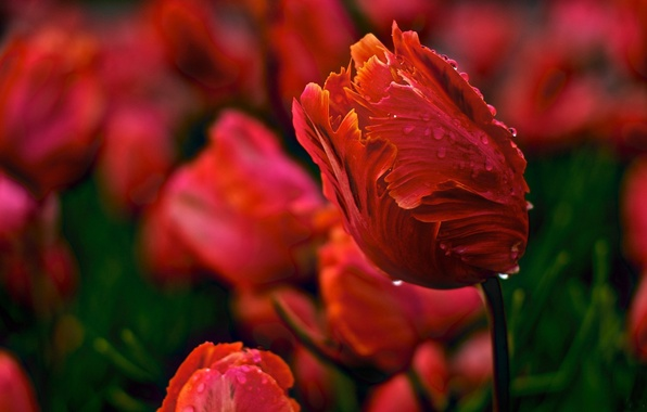 Picture water, drops, flowers, nature, Rosa, Tulip, spring, petals, Bud, tulips, red, buds