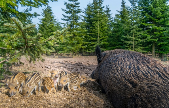 Picture tree, pigs, brood, boars, offspring