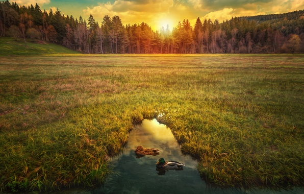 Picture field, forest, the sky, grass, the sun, trees, pond, dawn, duck, hdr