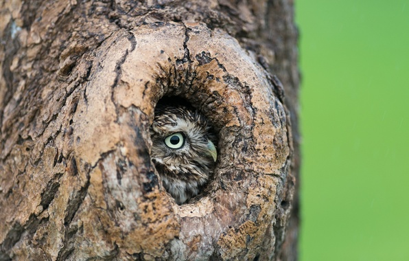 Picture tree, owl, the hollow