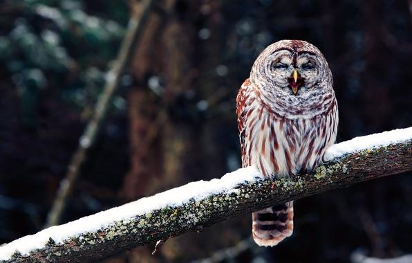 Picture owl, bird, branch, beak, yawns