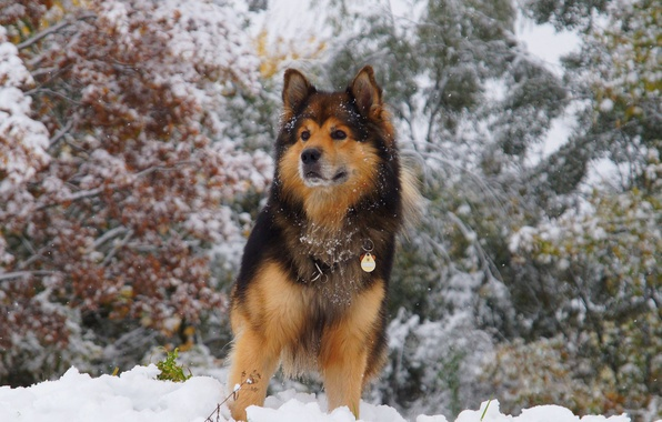Picture winter, look, snow, trees, animal, dog, wool, collar, ears