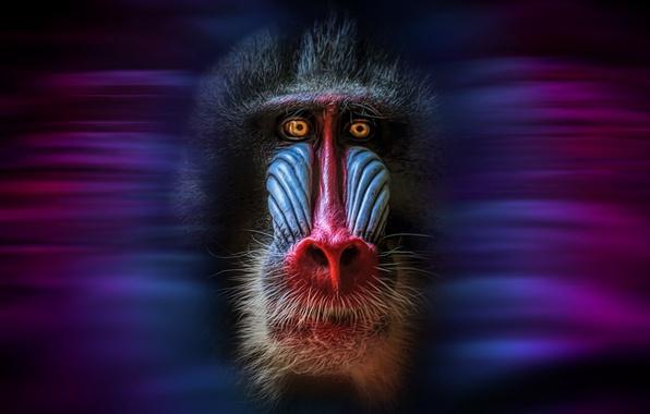 Picture face, background, monkey, mandrillus