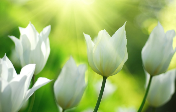 Picture light, flowers, nature, spring, tulips, white
