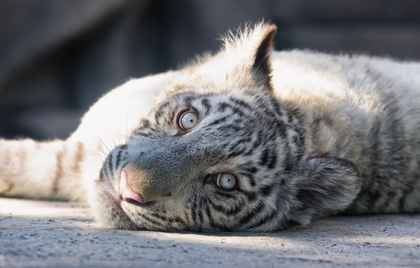 Picture cat, look, face, kitty, white tiger, tiger