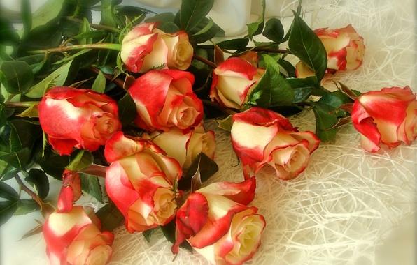 Picture roses, bouquet, petals, Bud