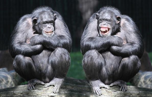 Picture laughter, pair, monkey, log, primates, chimpanzees