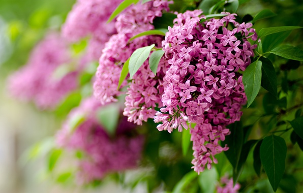 Picture leaves, flowers, branches, nature, focus, spring, blur, lilac