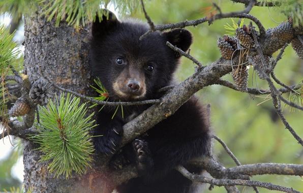 Picture tree, bear, bear, bumps, pine