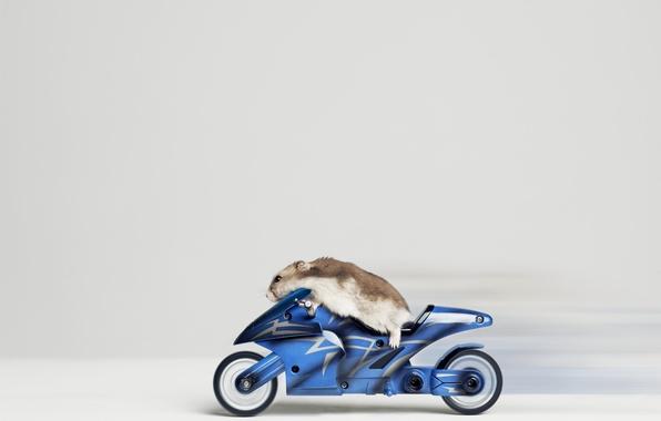 Picture hamster, bike, racer
