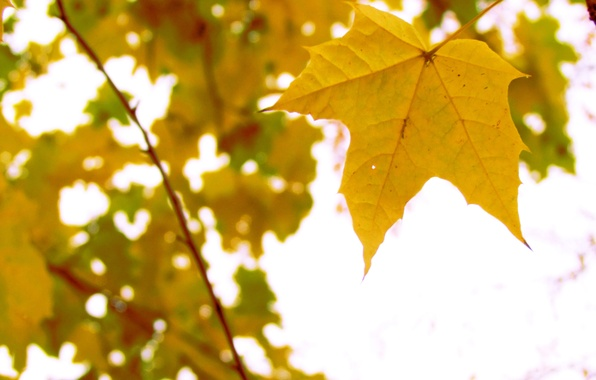 Picture autumn, nature, sheet, tree, yellow