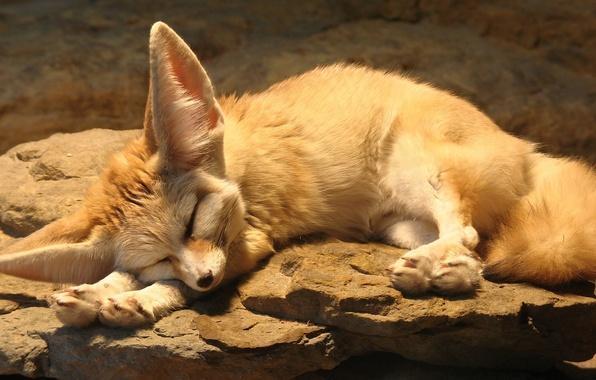 Picture cute, Fox, Animals, Kamen