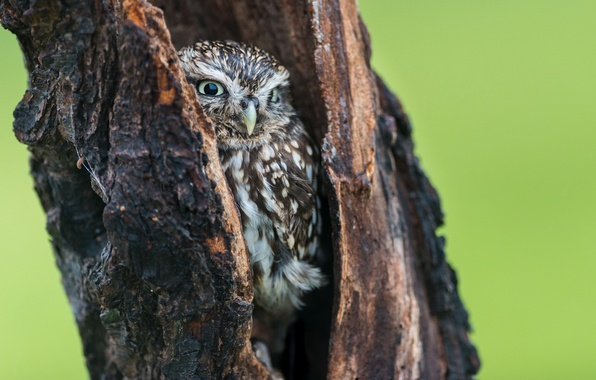 Picture nature, background, tree, owl, the hollow