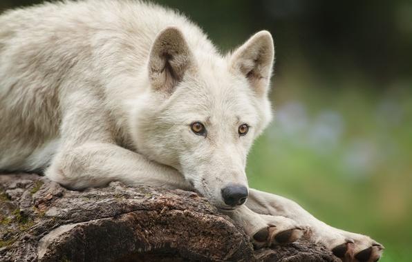 Picture white, wolf, lies, polar