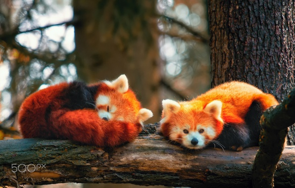 Picture branches, tree, red Panda, firefox, two pieces, AGON