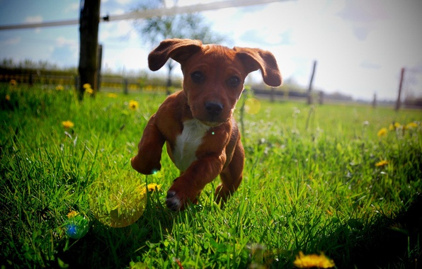 Picture summer, the sun, running, puppy
