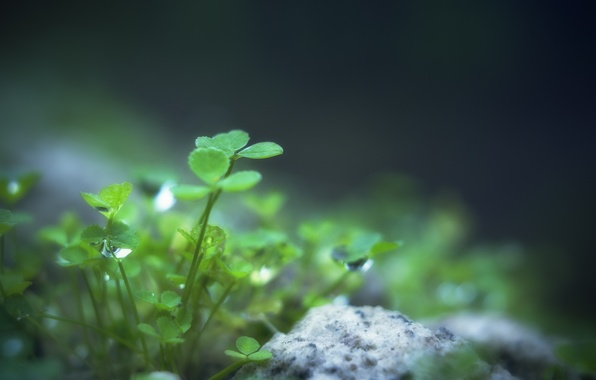 Picture greens, leaves, water, drops, macro, nature, Rosa, green, stone, plant, clover, leaves