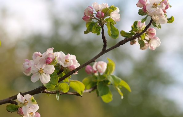Picture macro, flowers, nature, branch, spring, Apple, flowering, buds