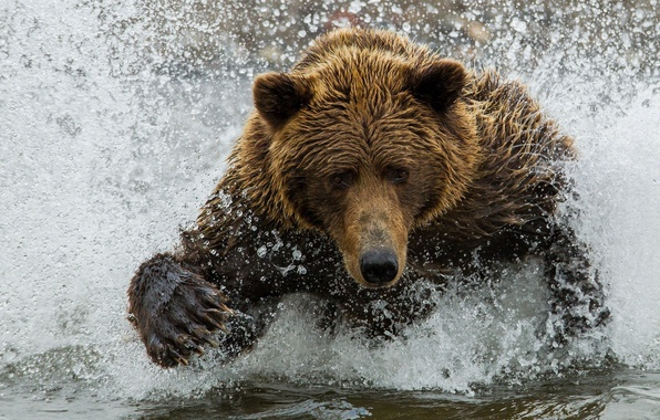Picture water, squirt, bear, bear, brown