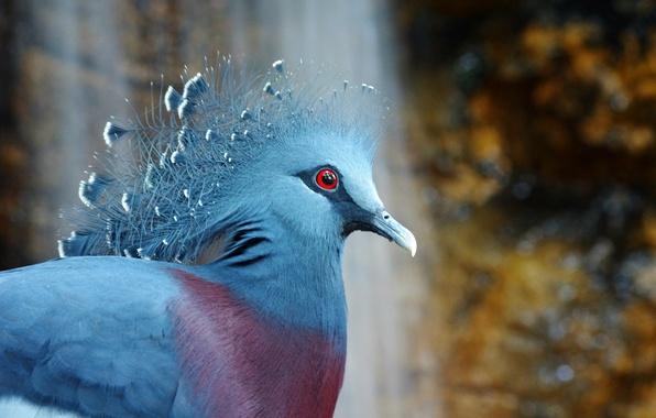 Picture bird, bird, crowned pigeon, Victoria Crowned Pigeon