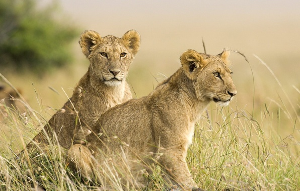 Picture Leo, Savana, lions, the cubs