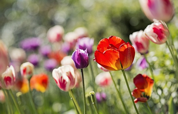Picture flowers, glare, tulips, flowerbed