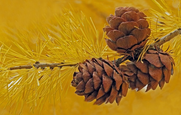 Picture macro, needles, branch, bumps, larch
