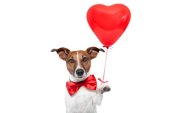 Picture red, butterfly, humor, white background, bow, heart, a balloon, Jack Russell Terrier